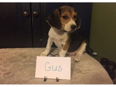 beagle puppies for sale in ma purebred tricolored beagle puppies for sale animals hudson massachusetts