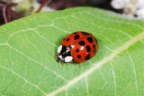know you pests and recognize their enemies ladybugs