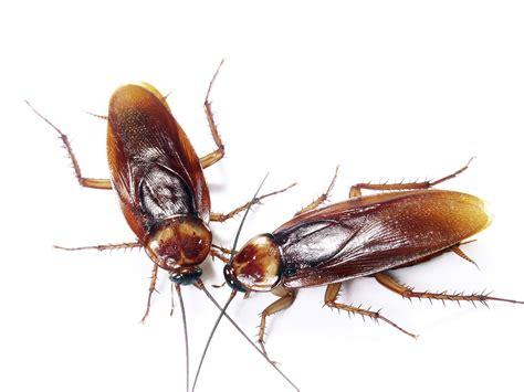 Kakerlaken Bilder by Cockroaches Fort Wayne Allen County Department Of Health
