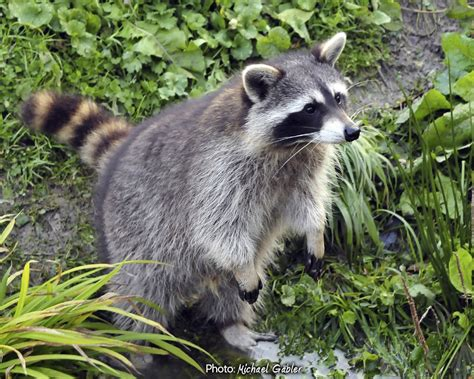 what to do if a raccoon is in your backyard raccoon bing images