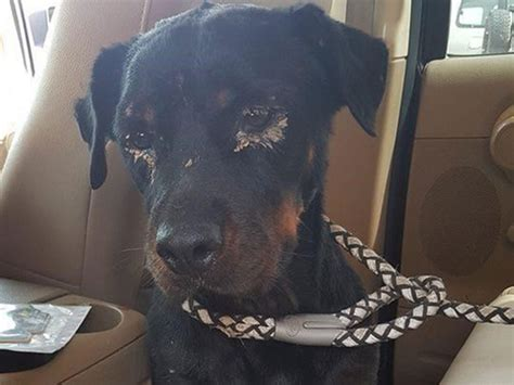 dog fighting  uae incident  abused rottweiler pup