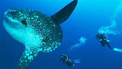 menyelam bersama ikan mola mola paket  murah nusa penida