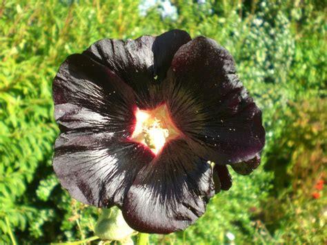 black flower file almost black flower geograph org uk 573413 jpg