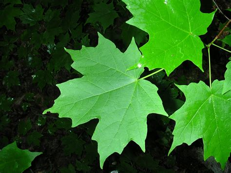 maple tree name in acer saccharum