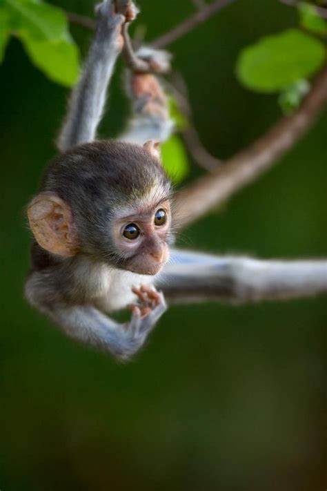 nicko the tale of a vervet monkey on an farm books 17 best images about world primates on