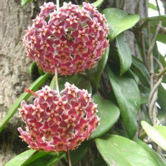 Tanaman Mawar Pink Carousel tanaman bunga hoya merah hoya bibitbunga