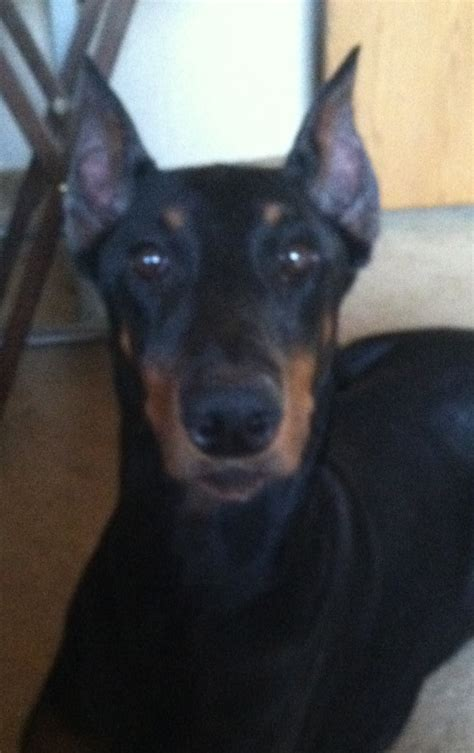 doberman puppies illinois doberman pinscher breeders illinois breeds picture