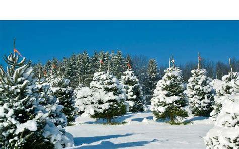 christmas tree farms erie county ny ellms trees in ballston spa ny a family run tree farm near saratoga