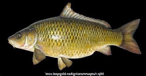 Umpan Jadi Galatama Paling Jitu 2 racikan umpan jitu mancing ikan jaruh ikan