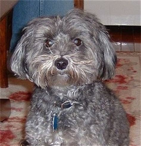 yorki poo hair curl adult yorkiepoo pictures