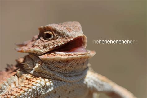 Hehe Meme - laughing lizard reaction gifs