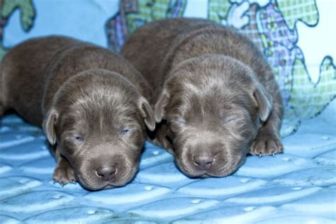 puppies at 2 weeks silver labs 2 weeks silver labs for sale breeder of silver labrador