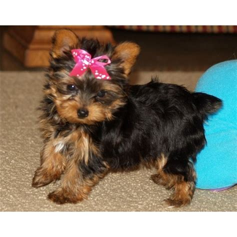 yorkie pups free to home loving teacup yorkie puppies for a happy home for sale in aberdeen loving teacup