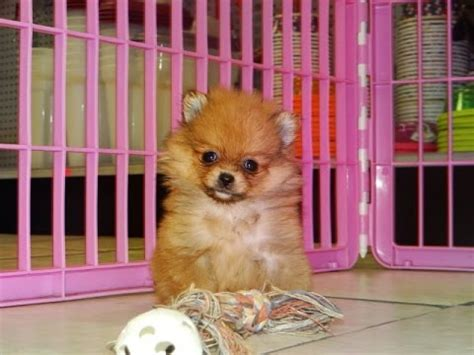 dogs for sale in ct pomeranian puppies for sale in bridgeport connecticut ct newington manchester