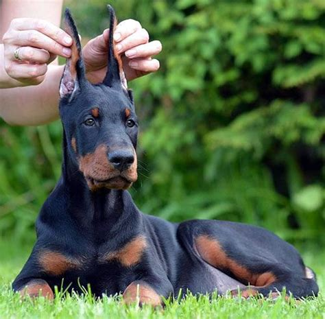 doberman puppies nc 25 best ideas about doberman puppies for sale on doberman for sale
