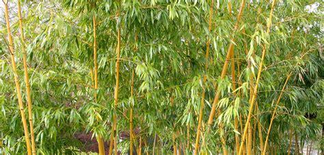 garten bambus bambus schneiden garten tipps garten