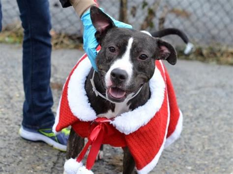 nycacc urgent dogs 17 best images about dogs nyc urgent nycacc on adoption nyc and