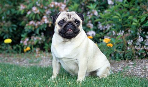 pet pugs pug breed information