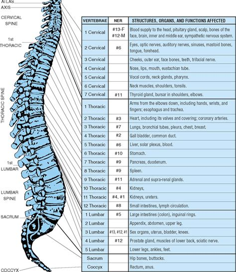 spinal discs diagram spine anatomy tenderness co