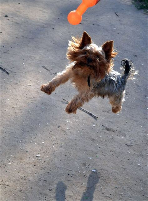 how to housebreak a yorkie puppy how to a terrier