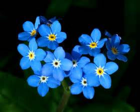 flowers images forget me nots hd wallpaper and background