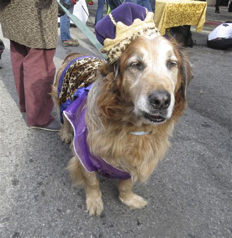 golden retriever costume ideas top 5 costumes for golden retrievers that are simply awesome a s