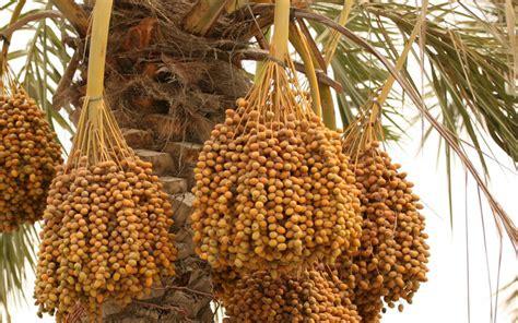 uae tops region in fruit bearing palm trees emirates 24 7 - Fruit Bearing Palm Trees