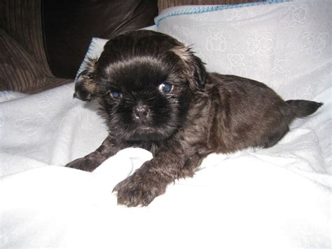 shih tzu babies imperial shih tzu babies manchester greater manchester pets4homes