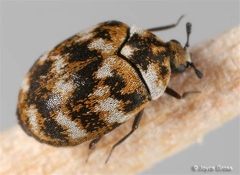 Carpet Beetle Vs Bed Bug by Carpet Beetles Vs Bed Bugs Bed Bug Treatments Removal