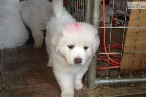 maremma sheepdog puppies for sale maremma sheepdog puppy for sale near cookeville tennessee 65a794e2 eca1