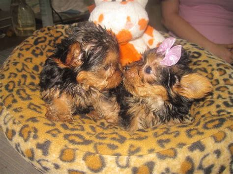 morkie puppies for sale oklahoma teacup yorkie puppies for free adoption oklahoma city dogs breeds picture