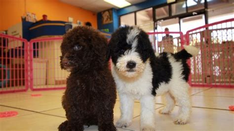goldendoodle puppies for sale in ga precious goldendoodle puppies for sale in at puppies for sale local breeders