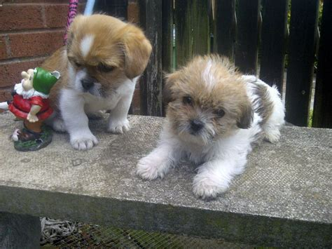 average size of a shih tzu pug cross shih tzu puppies 1001doggy