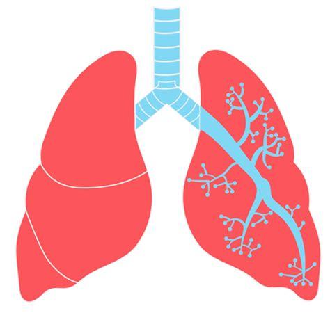 imagenes png online 174 blog de recursos escolares 174 im 193 genes de los pulmones