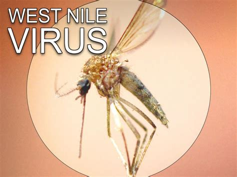 cape cod mosquito west nile detected in cape cod mosquito of course it s