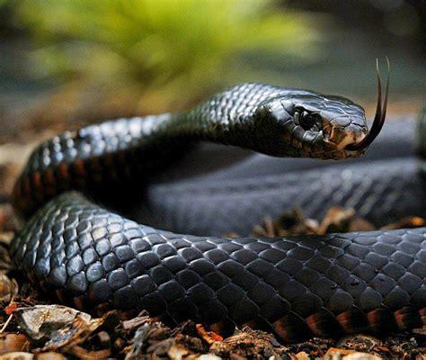 wallpaper black mamba snake black mamba snake wallpapers driverlayer search engine