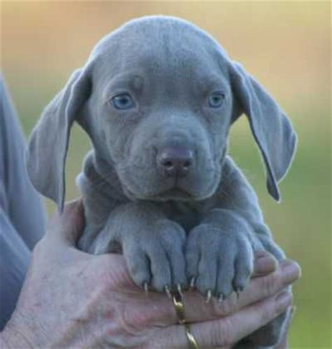 blue weimaraner puppies 10 best images about puppies for bentley on puppys so and chocolate