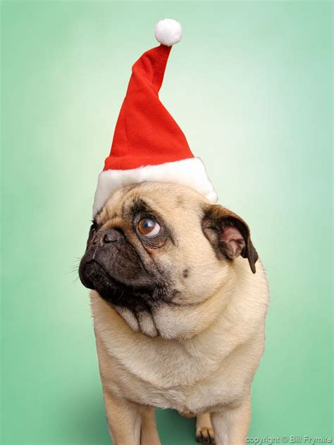 pug in santa hat pug wearing santa hat