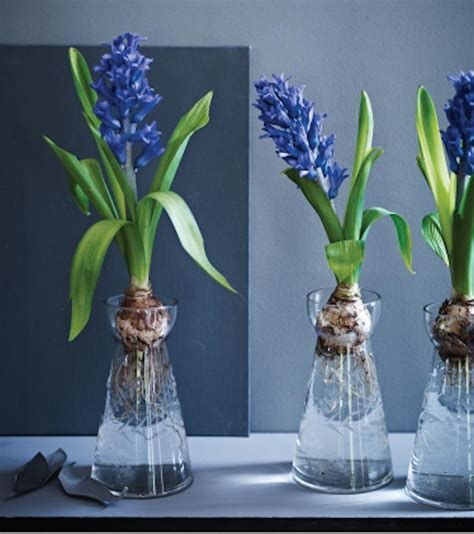 Rosemary Topiary - a trio of glass vases for forcing bulbs gardenista
