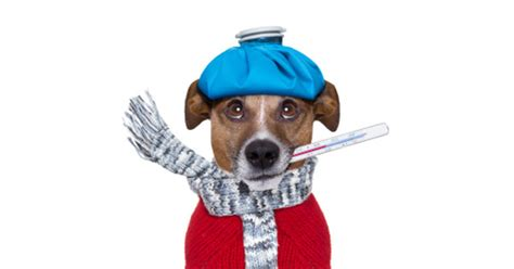 taking dogs temperature how to take your s temperature