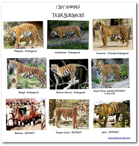 what are the different types of tigers living white tiger species
