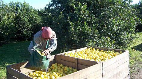 paritarias de trabajadores rurales el ingreso del lim 243 n a estados unidos tensa las paritarias