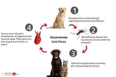 heartworm symptoms dogs worm goldenacresdogs