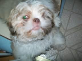 Cute dogs shih tzu