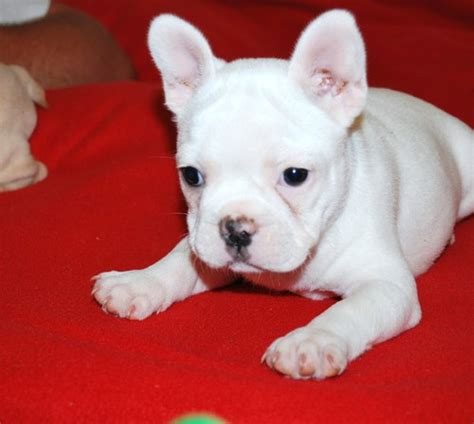 cheap bulldog puppies for sale in pa bachmann ho trains union pacific west car boot sale dundee