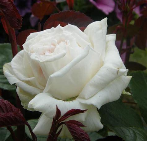 imagenes de flores rojas y blancas significado de las rosas florpedia com