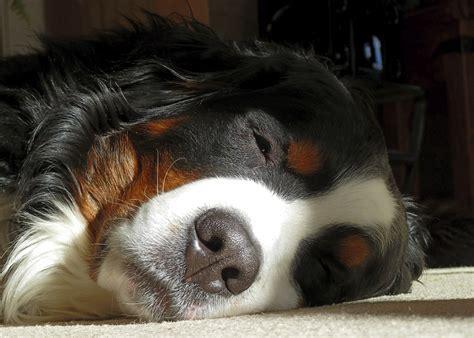 Free Images : puppy, animal, cute, pet, fur, sleeping ...
