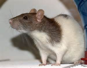 rats as pets looking past stereotypes and misconceptions