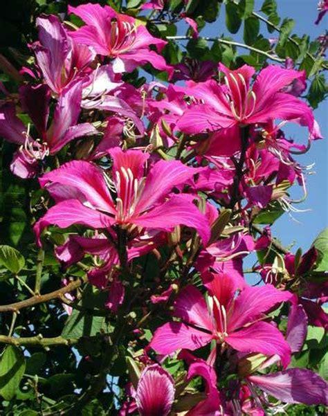 i fiori pi profumati piante tropicali a fiori profumati bauhinia blakeana