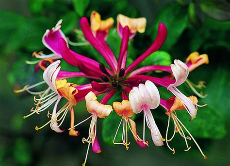 8 Beautiful Honeysuckle Items For The Home by Buy Late Honeysuckle Lonicera Periclymenum Serotina